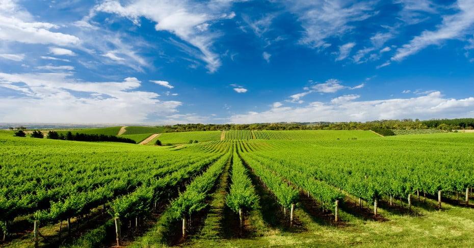 One Tree Hill Vineyard near Adelaide, Australia.