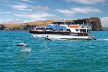 Dolphins playing, Black Cat Cruises, Akaroa.