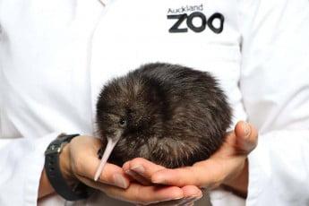 A kiwi at Auckland Zoo Vet Hospital.