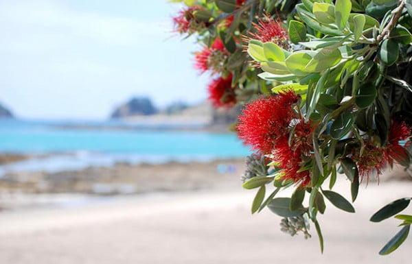 Pohutukawa, North Island, New Zealand.