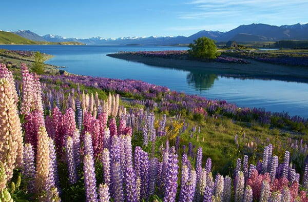 New Zealand - Lupins at Lake Tekapo